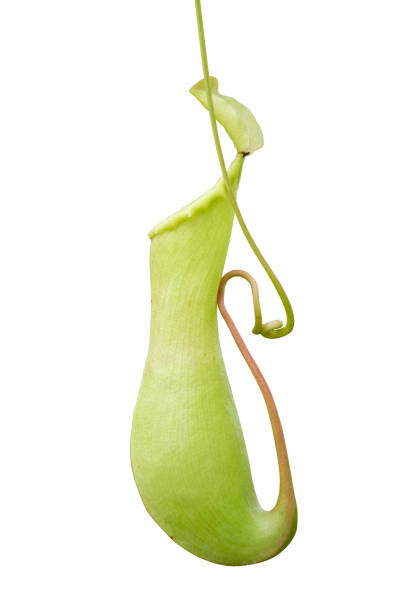 Pitcher plant nepenthes a vine and carnivorous tropical plant isolate on white background Pitcher plant nepenthes a vine and carnivorous tropical plant isolate on white background carnivorous stock pictures, royalty-free photos & images