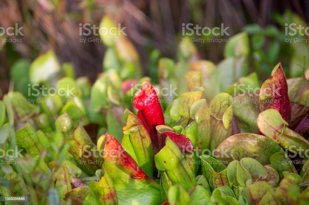 Pitcher plant (sarracenia) stock photo