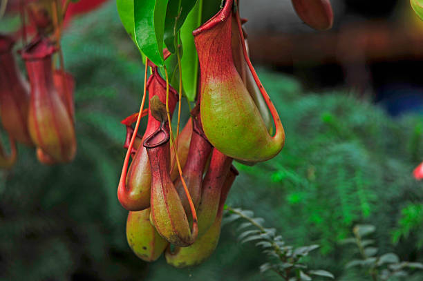 pitcher plants in a greenhouse pitcher plants in a greenhouse carnivorous stock pictures, royalty-free photos & images
