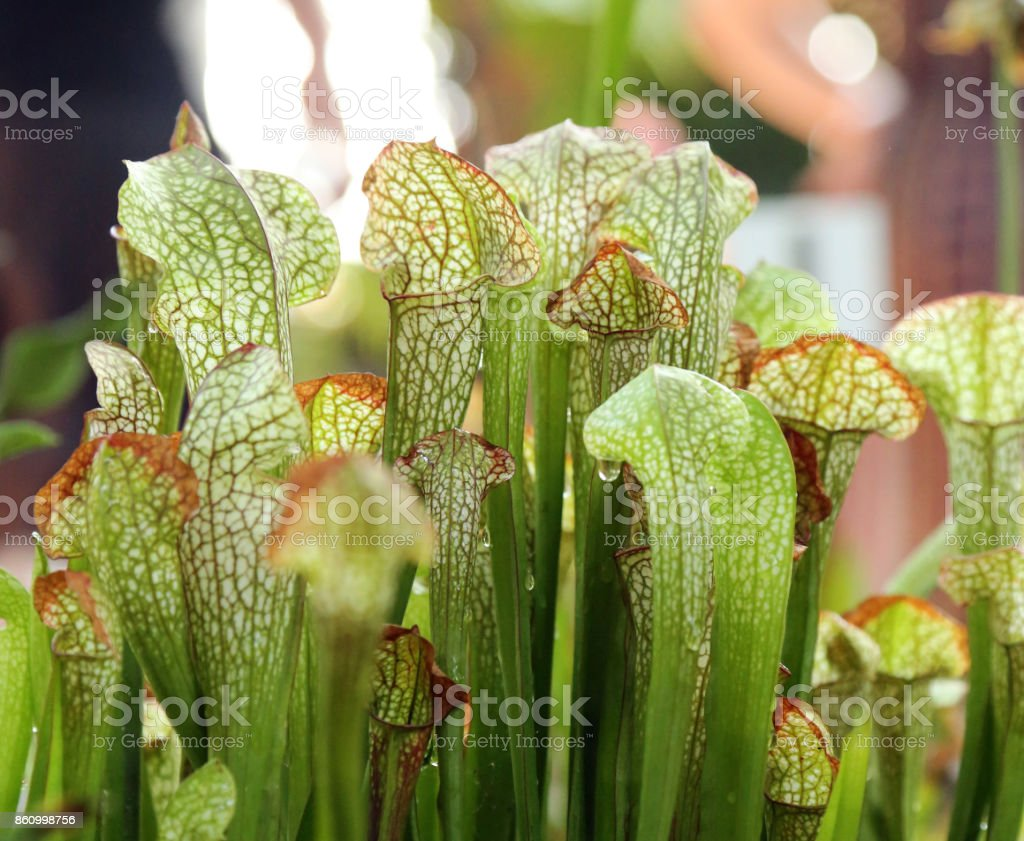 Pitcher plants stock photo