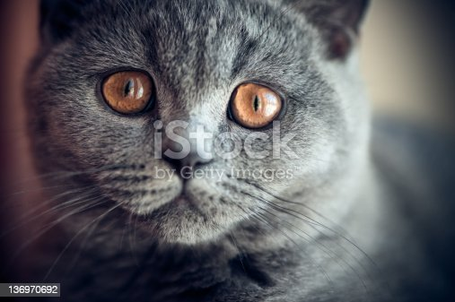 istock Pitiful British shorthair kitten 136970692