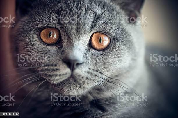 Pitiful british shorthair kitten picture id136970692?b=1&k=6&m=136970692&s=612x612&h=vdeq1eqnjinzqw0ifsgem7slib9tfp6jicolvg jjd4=