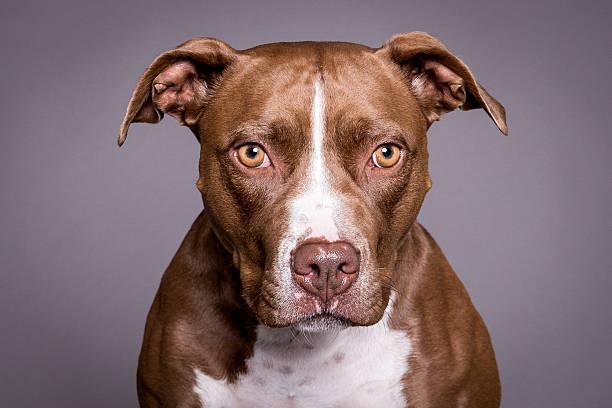 pitt bull dog portrait in grey background stock photo