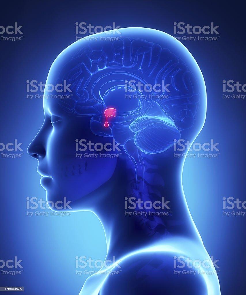 Hypophyse-weibliche Gehirn Anatomie seitlichen Blick – Foto