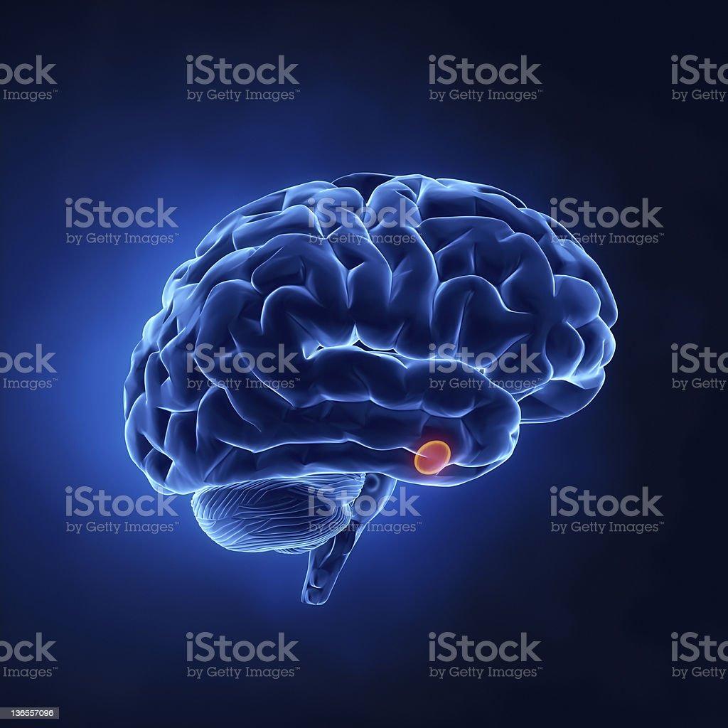 Hypophyse-menschliche Gehirn auf x-ray Blick – Foto