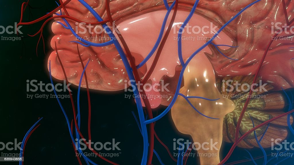 Pituitary gland stock photo
