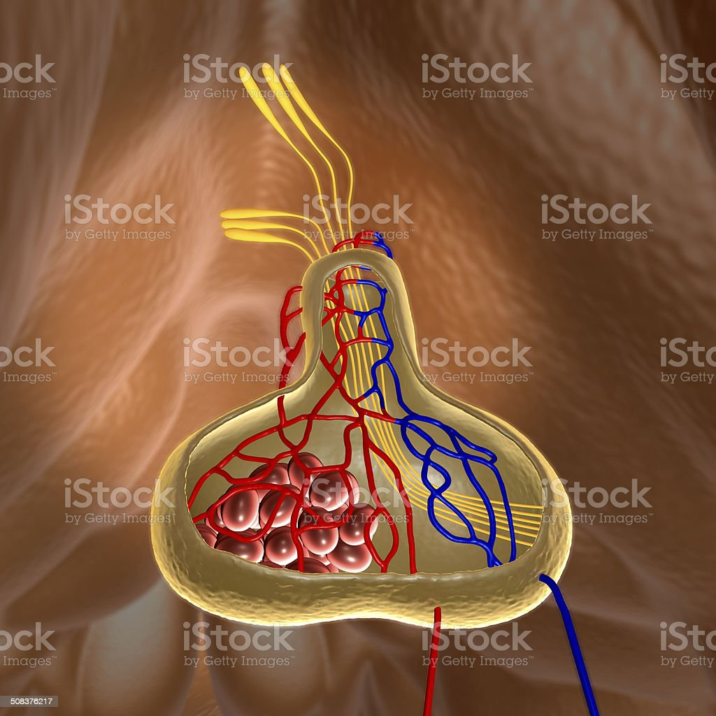 pituitary stock photo