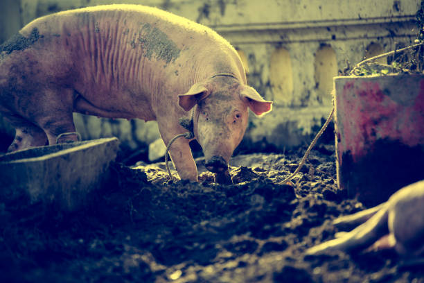 Ein Mitleid Schwein auf den schmutzigen Boden. – Foto