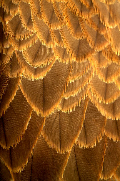 piume texture bristle animal part stock pictures, royalty-free photos & images