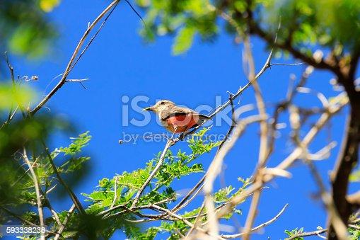 Pájaro alimentandose de gusano. Bird feeding on worm on tree branches, in the desert of Tatacoa, Huila, Colombia.