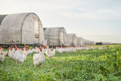 Shot of chickens and a henhouse on a farm