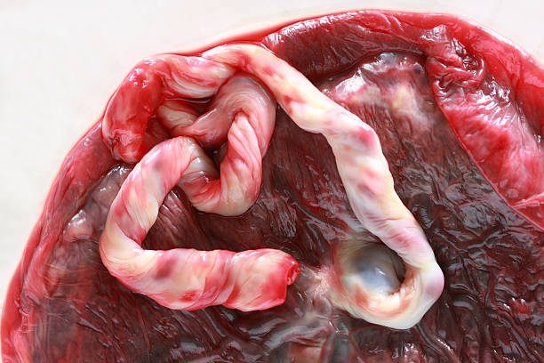 placenta - placenta stock photos and pictures