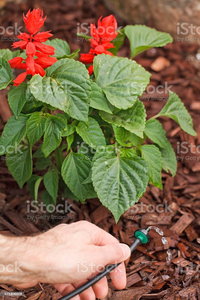 Placing a water drip system emitter under plant stock photo
