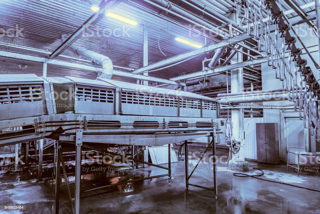 Placing broilers receiving conveyor. The dim blue glow of ultraviolet for lulling chicken. Chicken factory line. stock photo