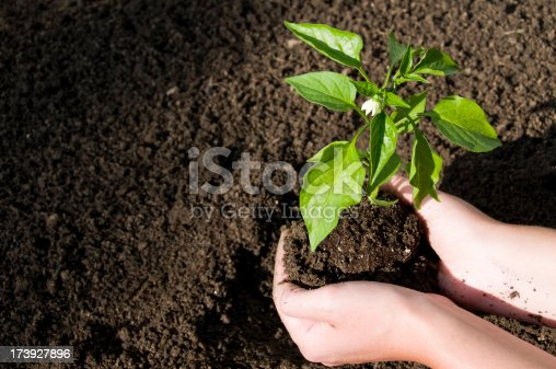 woman preparing to plant a small jalapeno seedling.See more related images in my Lawnmower & Gardening lightbox: