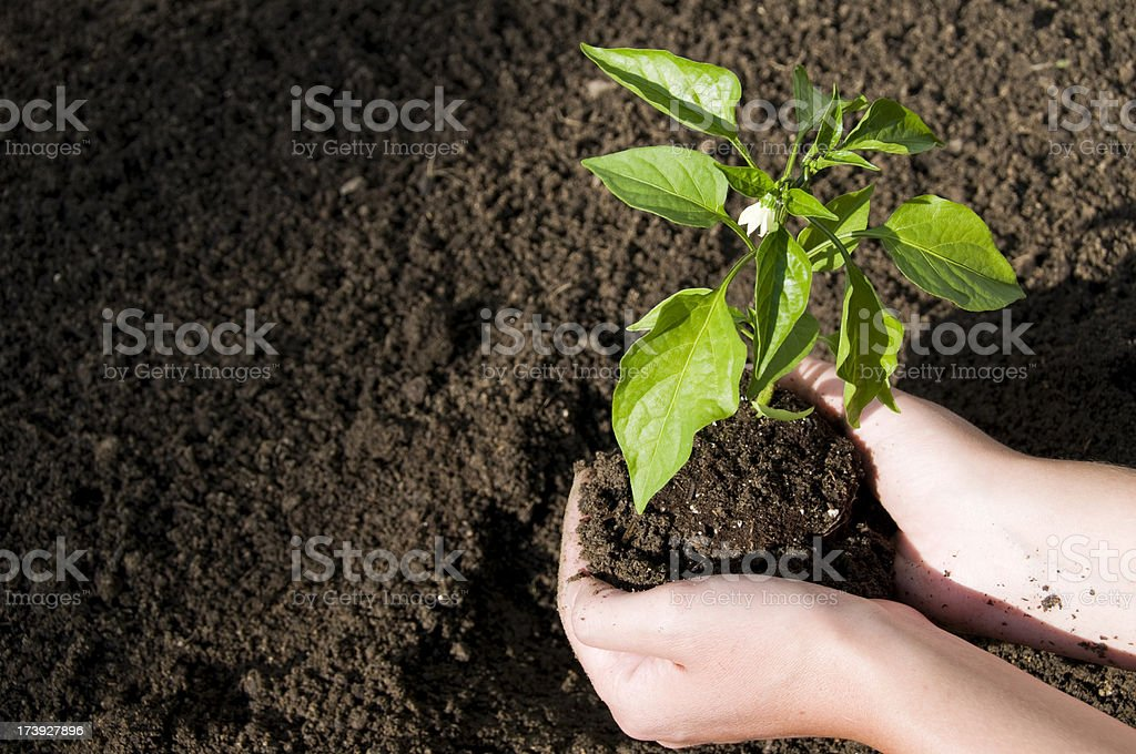 Placing Plant in the Dirt stock photo