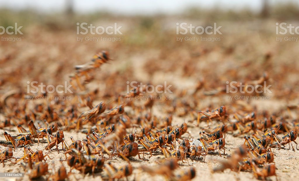 A plague of locusts roaming around on the sand stock photo