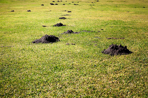 Plague of mole hills Mole hills 'en masse' - the bane of the lawn owner's or green keeper's life! mole animal stock pictures, royalty-free photos & images