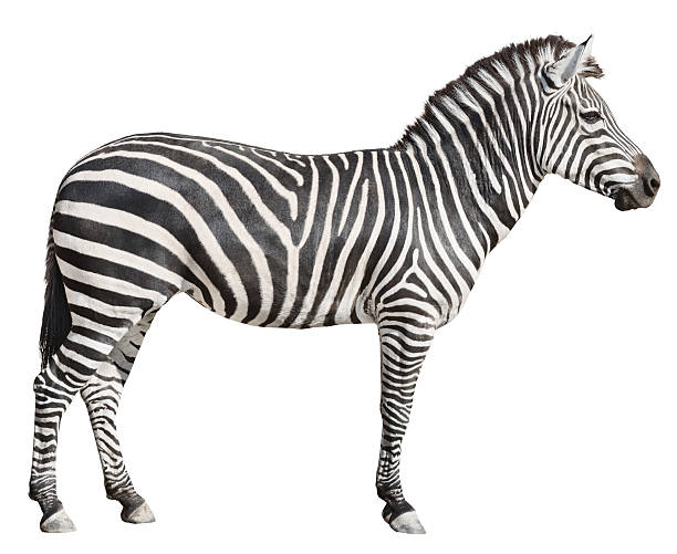 plain burchell's zebra female standing side view on white - zebra stock photos and pictures