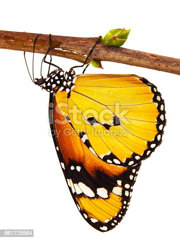 istock Plain tiger butterfly, Danaus chrysippus, hangs on a branch, isolated on white background 861725564