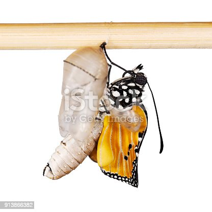 istock A plain tiger butterfly is spreading its wings 913866382