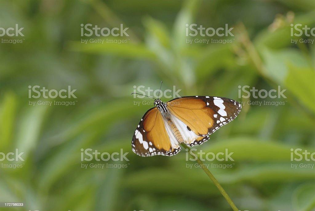 Plain Tiger - Danaus chrysippus stock photo
