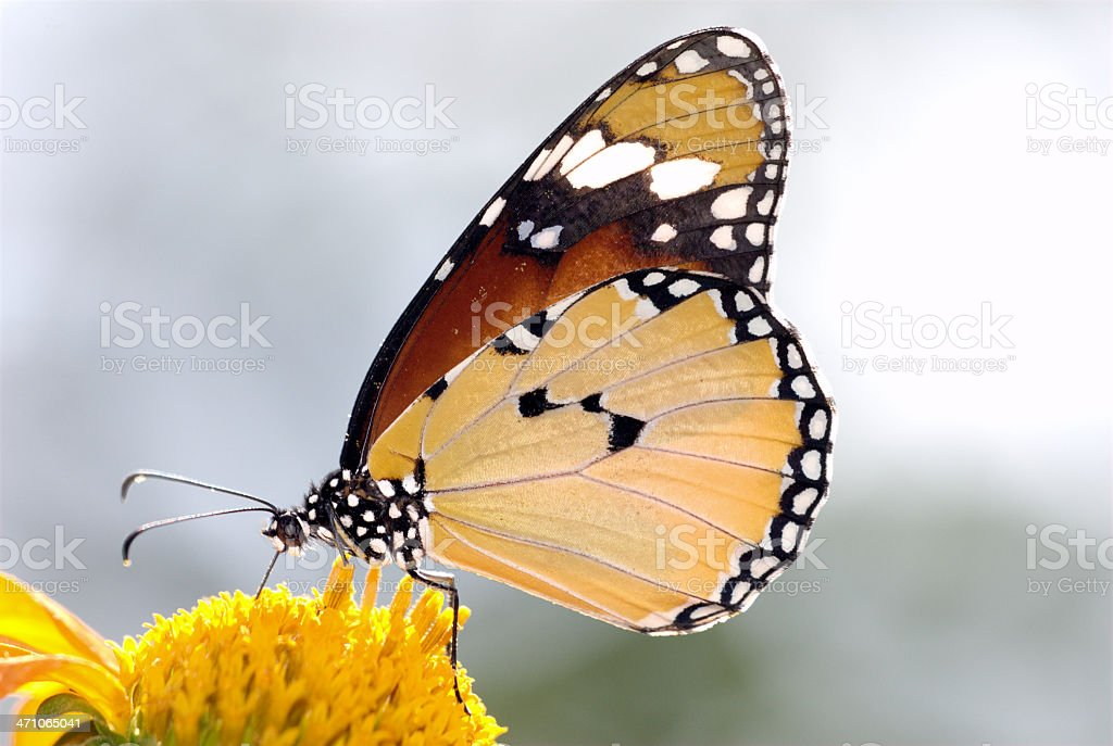 Plain Tiger (Danaus chrysippus) of Thailand stock photo