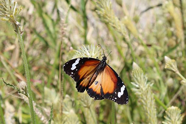 Plain Tiger with open wings, Northern Territory, Australia stock photo