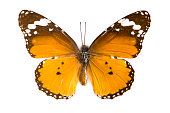 istock Plain Tiger-butterfly 621580916