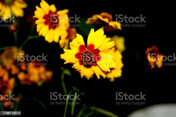 Photo of Plains coreopsis plant in bloom