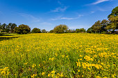 A Bright Yellow Field Full of Plains Coreopsis(Coreopsis tinctoria) Wildflowers in Texas