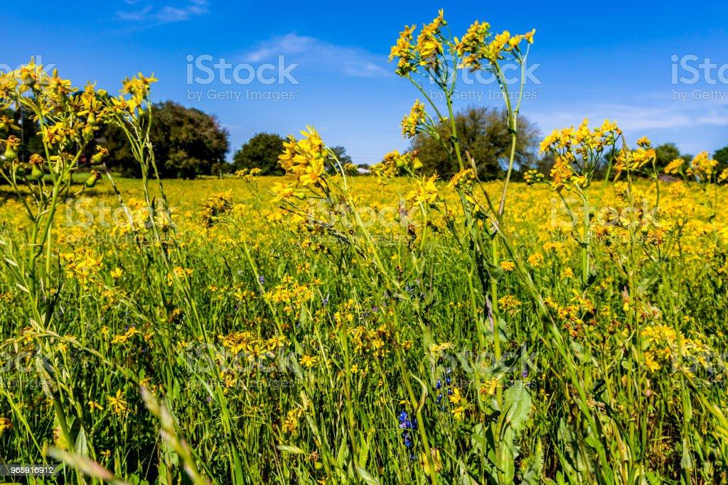 Tigeröga gul Wildflower i Texas - Royaltyfri Betesmark Bildbanksbilder