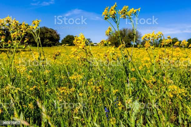 Tigeröga Gul Wildflower I Texas-foton och fler bilder på Betesmark