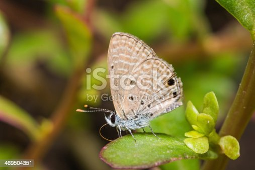 Close up of Plains Cupid (Chilades pandava) butterfly on green leaf