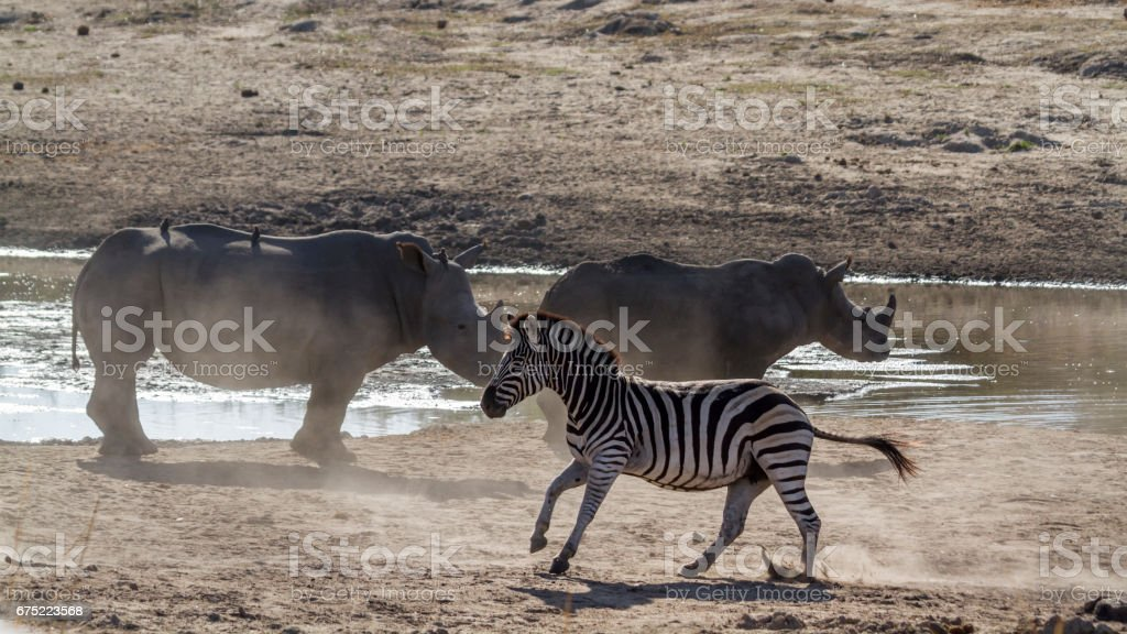 Plains zebra and white rhinoceros in Kruger National park, South Africa royalty-free stock photo