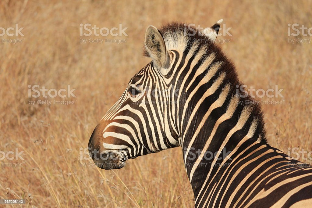 Plains Zebra burchells Africa wildlife animal gamedrive game stock photo