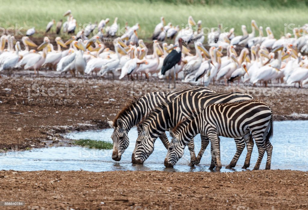 Plains Zebra drinking water stock photo