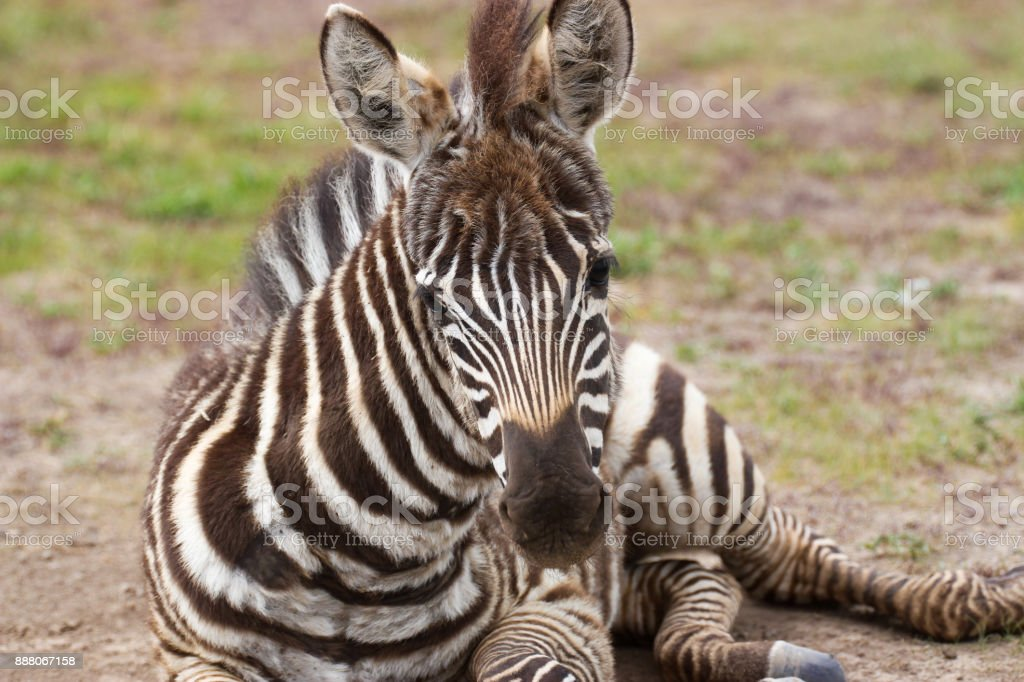 Plains zebra foal lying on the ground stock photo