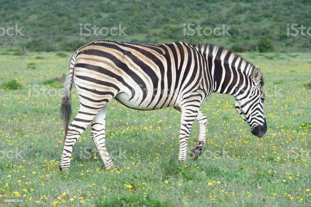 Plains Zebra foraging in Addo Elephant National Park royalty-free stock photo