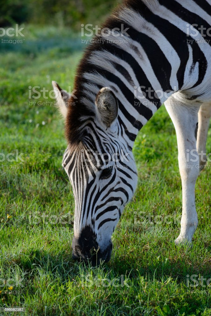 Plains Zebra foraging in Addo Elephant National Park royalty-free stock photo
