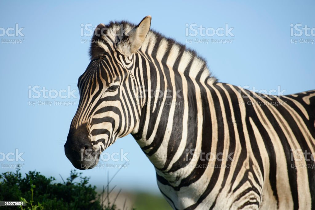 Plains Zebra in Addo Elephant National Park photo libre de droits