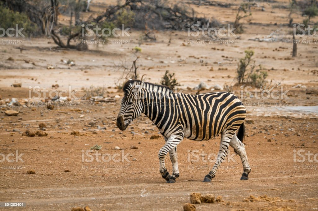Plains zebra in Kruger National park, South Africa royalty-free stock photo