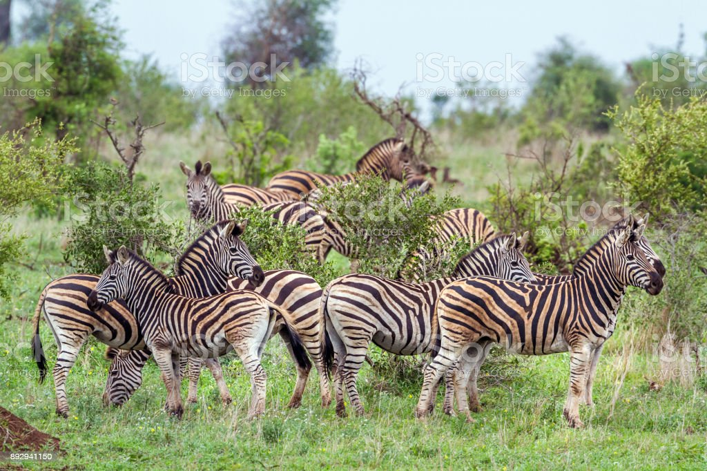Plains zebra in Kruger National park, South Africa stock photo