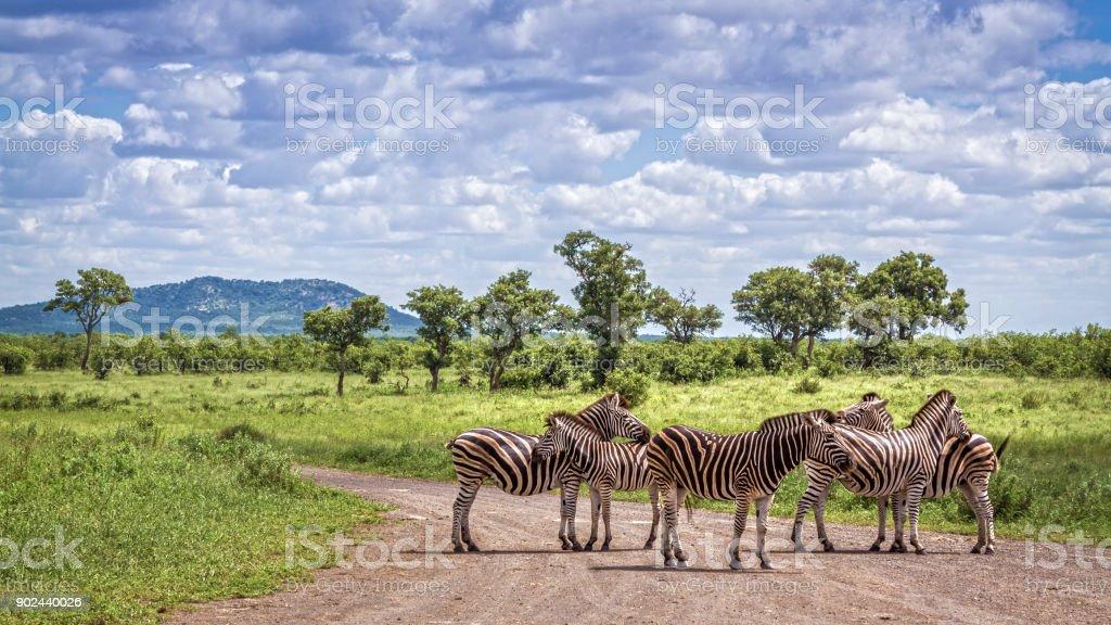 Plains zebra in Kruger National park, South Africa stock photo
