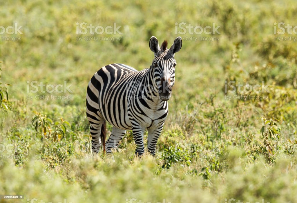 Plains Zebra inside the Ngorongoro Crater stock photo