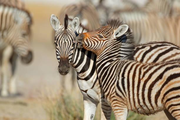 Plains zebra (Equus burchelli) interaction stock photo