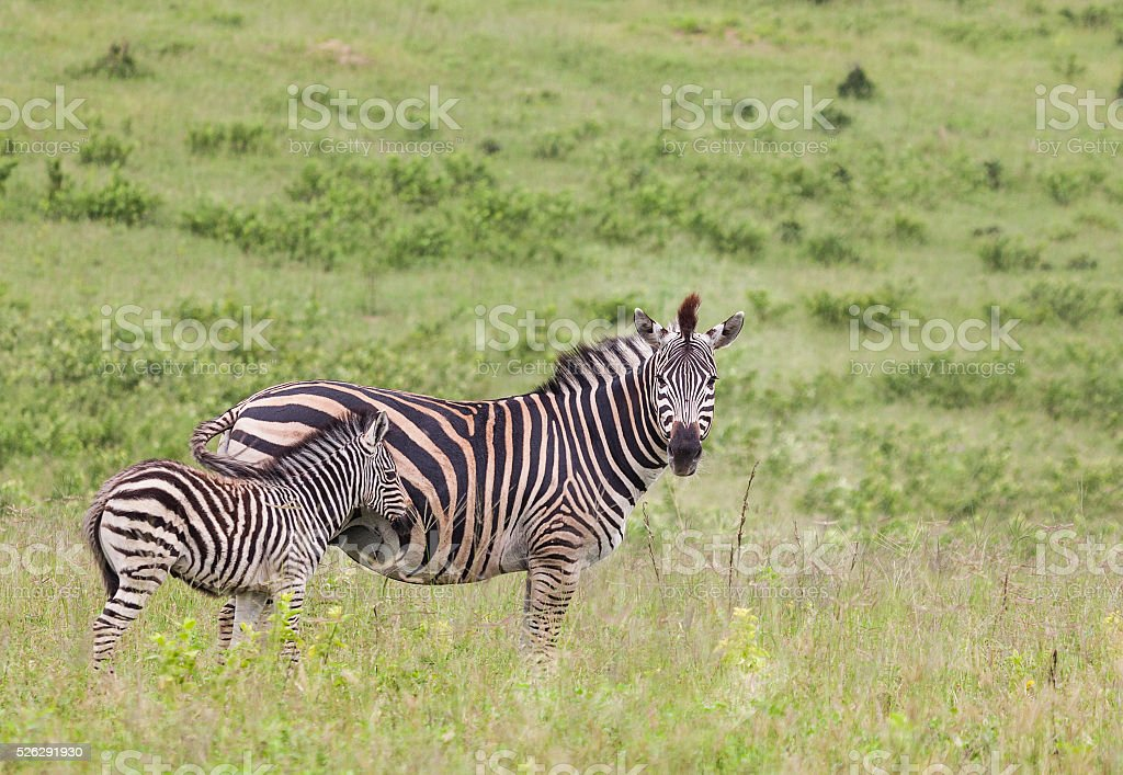 Plains Zebra mother and foal; Chobe N.P., Botswana, southern Africa stock photo