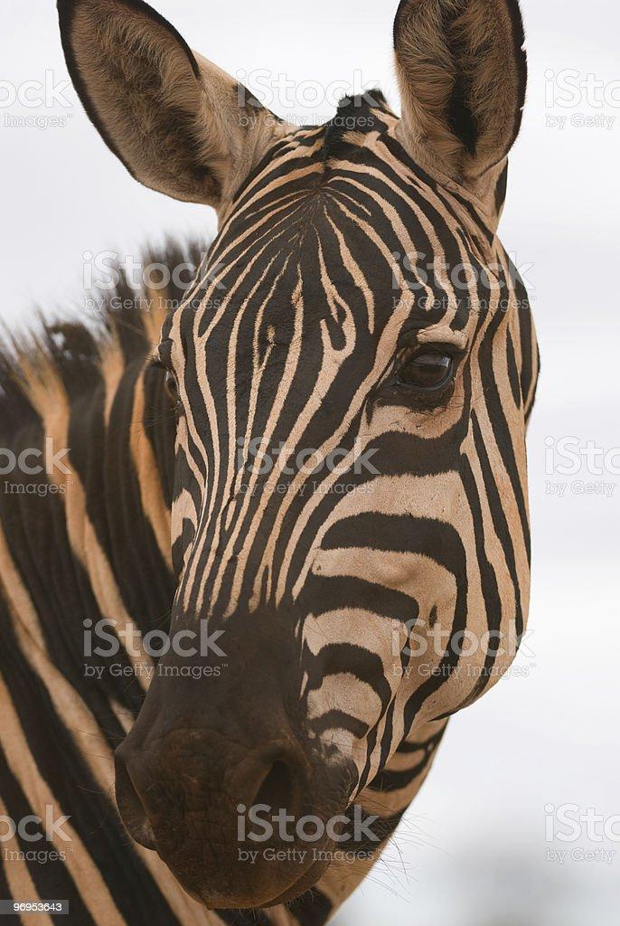 Plains Zebra (Equus quagga) Portrait, East Tsavo, Kenya royalty-free stock photo