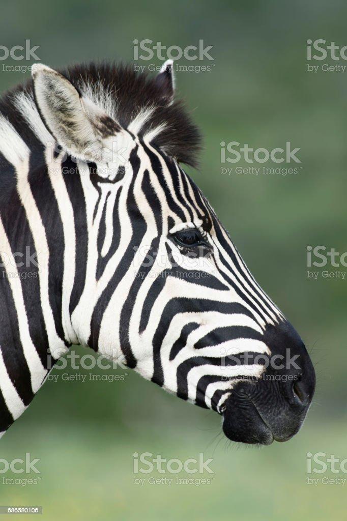 Plains Zebra portret in Addo Elephant National Park royalty-free stock photo