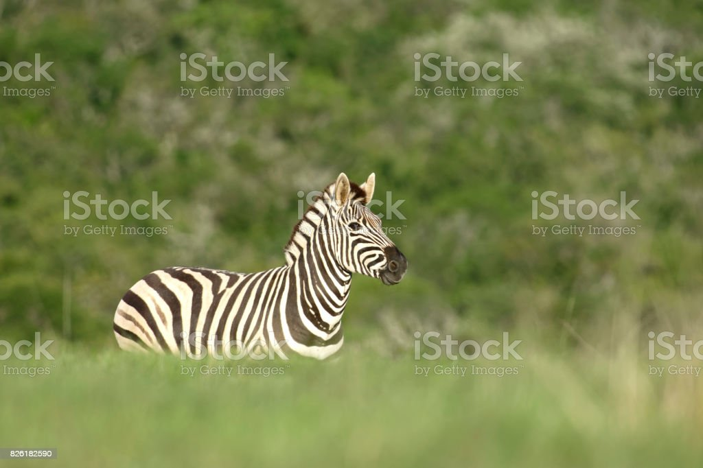 Plains Zebra, South Africa stock photo